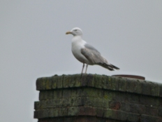 Local Seagull