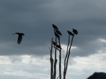 Vultures at the Everglades